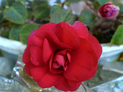 Red color Begonia Elatior flower. <i>(Family: Begoniaceae, Species: Begonia)</i> <br>Photo Date: September 2006, Location: Turkey/Istanbul-Mother`s Flowers, By: Artislamic.com