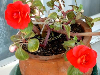 Kırmızı Katmerli Begonya Çiçeği resmi. <i>(Ailesi: Begoniaceae, Türü: Begonia)</i> <br>Çekim Tarihi: Eylül 2006, Yer: İstanbul-Annemin Çiçekleri, Fotoğraf: islamiSanat.net