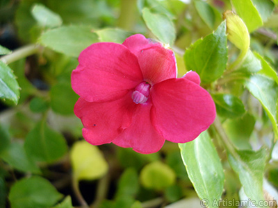 Garden Balsam, -Touch-me-not, Jewel Weed- flower. <i>(Family: Balsaminaceae, Species: Impatiens walleriana)</i> <br>Photo Date: October 2005, Location: Turkey/Istanbul-Mother`s Flowers, By: Artislamic.com