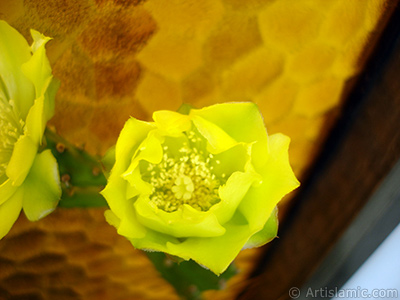 Prickly Pear with yellow flower.
