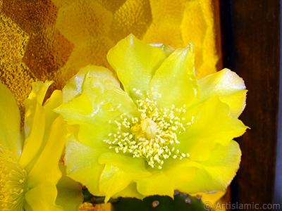 Kaynana Dili Kaktüsünün sarı çiçeğinin resmi. <i>(Ailesi: Cactaceae, Türü: Opuntia)</i> <br>Çekim Tarihi: Haziran 2010, Yer: İstanbul-Annemin Çiçekleri, Fotoğraf: islamiSanat.net