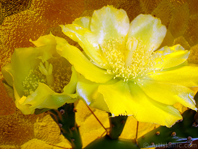 Prickly Pear with yellow flower. <i>(Family: Cactaceae, Species: Opuntia)</i> <br>Photo Date: June 2010, Location: Turkey/Istanbul-Mother`s Flowers, By: Artislamic.com
