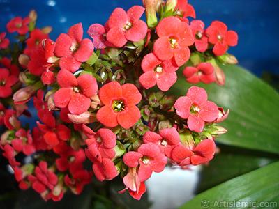 Kalanşo (Kalanchoe) bitkisinin çiçeğinin resmi. <i>(Ailesi: Crassulaceae, Türü: Kalanchoe blossfeldiana hybrids)</i> <br>Çekim Tarihi: Mayıs 2005, Yer: İstanbul, Fotoğraf: islamiSanat.net