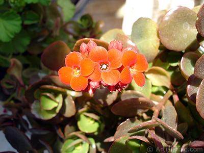 Kalanşo (Kalanchoe) bitkisinin çiçeğinin resmi. <i>(Ailesi: Crassulaceae, Türü: Kalanchoe blossfeldiana hybrids)</i> <br>Çekim Tarihi: Mayıs 2008, Yer: İstanbul-Annemin Çiçekleri, Fotoğraf: islamiSanat.net