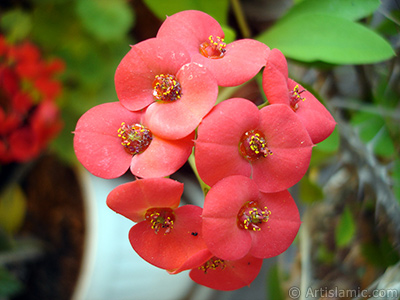 Euphorbia Milii -Crown of thorns- with pink flower.