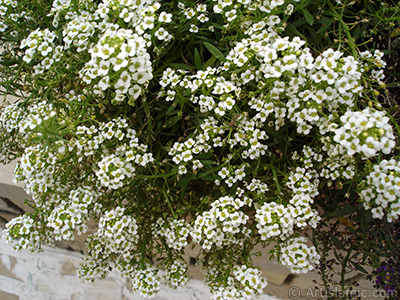 A plant with tiny white flowers.