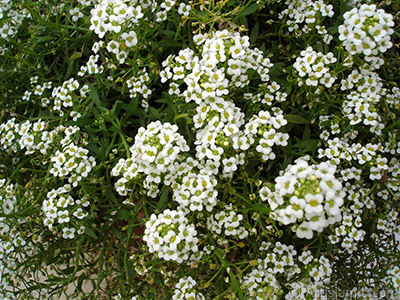 A plant with tiny white flowers. <br>Photo Date: August 2008, Location: Turkey/Yalova-Termal, By: Artislamic.com