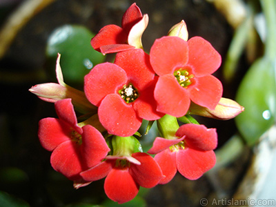 Kalanchoe plant`s flower. <i>(Family: Crassulaceae, Species: Kalanchoe blossfeldiana hybrids)</i> <br>Photo Date: March 2011, Location: Turkey/Istanbul-Mother`s Flowers, By: Artislamic.com