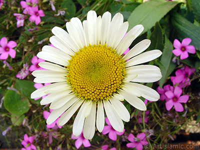 Field Daisy -Ox Eye, Love-Me-Love-Me-Not, Marguerite, Moon Daisy- flower. <i>(Family: Asteraceae, Species: Leucanthemum vulgare, Chrysanthemum leucanthemum)</i> <br>Photo Date: June 2005, Location: Turkey/Trabzon, By: Artislamic.com