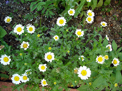 Field Daisy -Ox Eye, Love-Me-Love-Me-Not, Marguerite, Moon Daisy- flower.