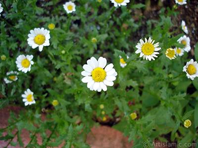 Papatya çiçeğinin resmi. <i>(Ailesi: Asteraceae, Türü: Leucanthemum vulgare, Chrysanthemum leucanthemum)</i> <br>Çekim Tarihi: Temmuz 2005, Yer: Trabzon, Fotoğraf: islamiSanat.net