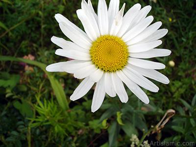 Field Daisy -Ox Eye, Love-Me-Love-Me-Not, Marguerite, Moon Daisy- flower. <i>(Family: Asteraceae, Species: Leucanthemum vulgare, Chrysanthemum leucanthemum)</i> <br>Photo Date: July 2005, Location: Turkey/Trabzon, By: Artislamic.com