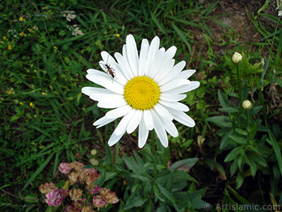 Field Daisy -Ox Eye, Love-Me-Love-Me-Not, Marguerite, Moon Daisy- flower. <i>(Family: Asteraceae, Species: Leucanthemum vulgare, Chrysanthemum leucanthemum)</i> <br>Photo Date: July 2005, Location: Turkey/Trabzon, By: Artislamic.com