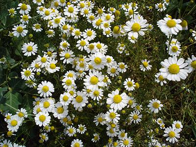 Field Daisy -Ox Eye, Love-Me-Love-Me-Not, Marguerite, Moon Daisy- flower. <i>(Family: Asteraceae, Species: Leucanthemum vulgare, Chrysanthemum leucanthemum)</i> <br>Photo Date: May 2007, Location: Turkey/Sakarya, By: Artislamic.com