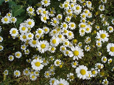 Papatya çiçeğinin resmi. <i>(Ailesi: Asteraceae, Türü: Leucanthemum vulgare, Chrysanthemum leucanthemum)</i> <br>Çekim Tarihi: Mayıs 2007, Yer: Sakarya, Fotoğraf: islamiSanat.net