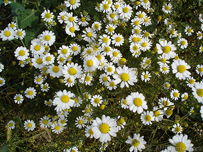 Field Daisy -Ox Eye, Love-Me-Love-Me-Not, Marguerite, Moon Daisy- flower. <i>(Family: Asteraceae, Species: Leucanthemum vulgare, Chrysanthemum leucanthemum)</i> <br>Photo Date: May 2007, Location: Turkey/Sakarya, By: Artislamic.com
