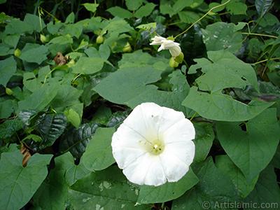 Beyaz Gündüz Sefası çiçeği resmi. (Bu çiçek için şu isimler de söylenmektedir: Boru Çiçeği, Kahkaha Çiçeği, Sarmaşık Çiçeği.) <i>(Ailesi: Convolvulaceae, Türü: Ipomoea)</i> <br>Çekim Tarihi: Temmuz 2005, Yer: Trabzon, Fotoğraf: islamiSanat.net