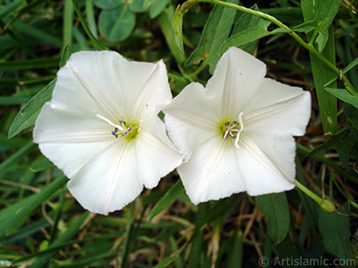 White Morning Glory flower. <i>(Family: Convolvulaceae, Species: Ipomoea)</i> <br>Photo Date: August 2008, Location: Turkey/Yalova-Termal, By: Artislamic.com
