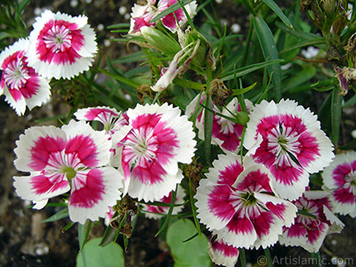 Pink and white color Carnation -Clove Pink- flower. <i>(Family: Caryophyllaceae, Species: Dianthus caryophyllus)</i> <br>Photo Date: June 2005, Location: Turkey/Trabzon, By: Artislamic.com
