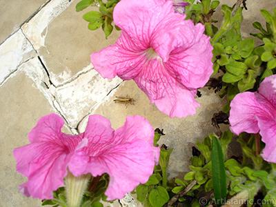 Pink Petunia flower. <i>(Family: Solanaceae, Species: Petunia)</i> <br>Photo Date: August 2008, Location: Turkey/Yalova-Termal, By: Artislamic.com