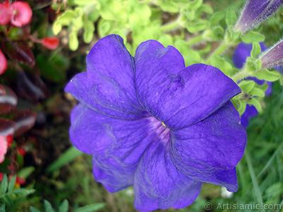 Purple Petunia flower. <i>(Family: Solanaceae, Species: Petunia)</i> <br>Photo Date: August 2008, Location: Turkey/Yalova-Termal, By: Artislamic.com