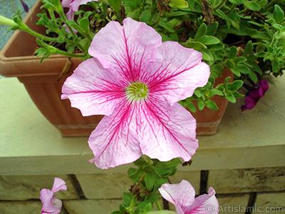 Pembe Petunya çiçeği resmi. <i>(Ailesi: Solanaceae, Türü: Petunia)</i> <br>Çekim Tarihi: Ağustos 2008, Yer: Yalova-Termal, Fotoğraf: islamiSanat.net