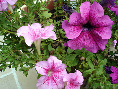 Pink Petunia flower. <i>(Family: Solanaceae, Species: Petunia)</i> <br>Photo Date: August 2008, Location: Turkey/Yalova-Termal, By: Artislamic.com