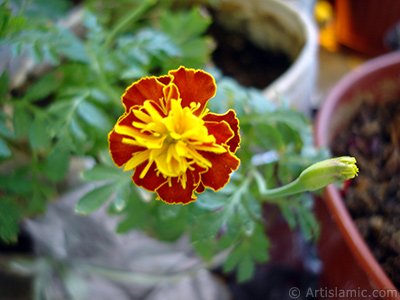 Marigold flower. <i>(Family: Asteraceae/Compositae, Species: Tagetes)</i> <br>Photo Date: September 2005, Location: Turkey/Istanbul-Mother`s Flowers, By: Artislamic.com