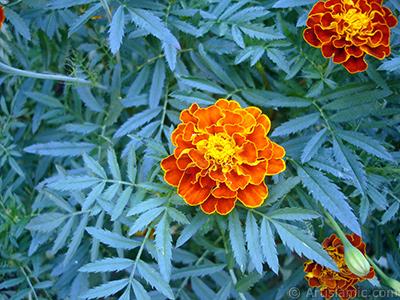 Kadife çiçeği resmi. <i>(Ailesi: Asteraceae/Compositae, Türü: Tagetes)</i> <br>Çekim Tarihi: Ağustos 2005, Yer: Yalova-Termal, Fotoğraf: islamiSanat.net