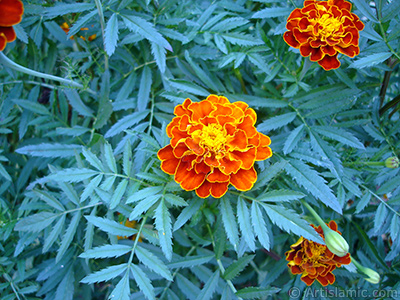 Marigold flower. <i>(Family: Asteraceae/Compositae, Species: Tagetes)</i> <br>Photo Date: August 2005, Location: Turkey/Yalova-Termal, By: Artislamic.com