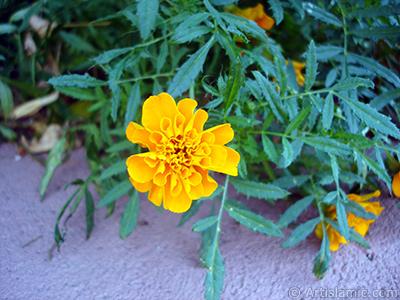 Marigold flower. <i>(Family: Asteraceae/Compositae, Species: Tagetes)</i> <br>Photo Date: August 2005, Location: Turkey/Yalova-Termal, By: Artislamic.com