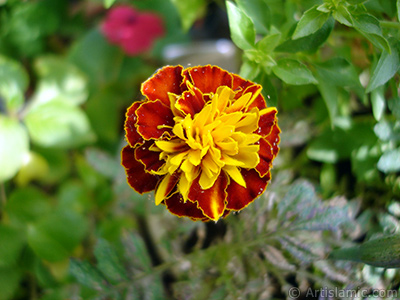 Marigold flower. <i>(Family: Asteraceae/Compositae, Species: Tagetes)</i> <br>Photo Date: October 2005, Location: Turkey/Istanbul-Mother`s Flowers, By: Artislamic.com