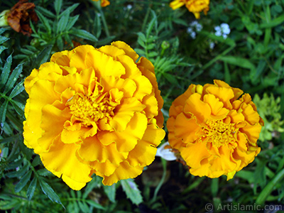 Marigold flower. <i>(Family: Asteraceae/Compositae, Species: Tagetes)</i> <br>Photo Date: August 2008, Location: Turkey/Yalova-Termal, By: Artislamic.com