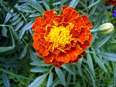 Kadife çiçeği resmi. <i>(Ailesi: Asteraceae/Compositae, Türü: Tagetes)</i> <br>Çekim Tarihi: Ağustos 2008, Yer: Yalova-Termal, Fotoğraf: islamiSanat.net