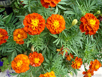 Marigold flower. <i>(Family: Asteraceae/Compositae, Species: Tagetes)</i> <br>Photo Date: August 2008, Location: Turkey/Yalova-Termal, By: Artislamic.com