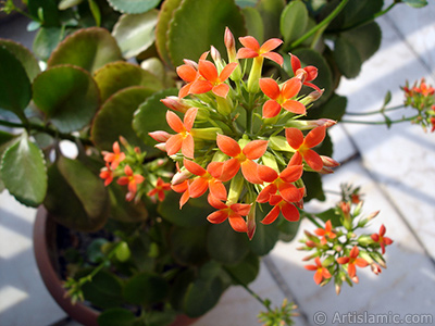 Kalanchoe plant`s flower. <i>(Family: Crassulaceae, Species: Kalanchoe blossfeldiana hybrids)</i> <br>Photo Date: February 2006, Location: Turkey/Istanbul-Mother`s Flowers, By: Artislamic.com