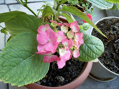 Pink Hydrangea -Hortensia- flower. <i>(Family: Hydrangeaceae, Species: Hydrangea)</i> <br>Photo Date: January 2002, Location: Turkey/Istanbul-Mother`s Flowers, By: Artislamic.com