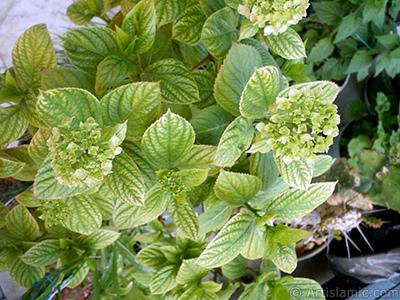 Hydrangea -Hortensia- flower. <i>(Family: Hydrangeaceae, Species: Hydrangea)</i> <br>Photo Date: January 2002, Location: Turkey/Istanbul-Mother`s Flowers, By: Artislamic.com