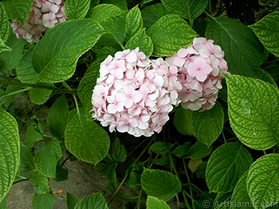 Pink Hydrangea -Hortensia- flower. <i>(Family: Hydrangeaceae, Species: Hydrangea)</i> <br>Photo Date: January 2002, Location: Turkey/Istanbul-Beyazıt, By: Artislamic.com