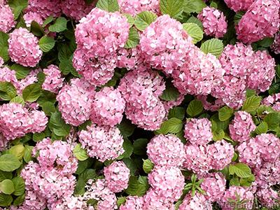 Pembe Ortanca çiçeği resmi. <i>(Ailesi: Hydrangeaceae, Türü: Hydrangea)</i> <br>Çekim Tarihi: Ocak 2002, Yer: İstanbul-Beyazıt, Fotoğraf: islamiSanat.net