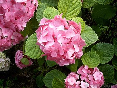 Pink Hydrangea -Hortensia- flower. <i>(Family: Hydrangeaceae, Species: Hydrangea)</i> <br>Photo Date: January 2002, Location: Turkey/Istanbul-Beyazıt, By: Artislamic.com