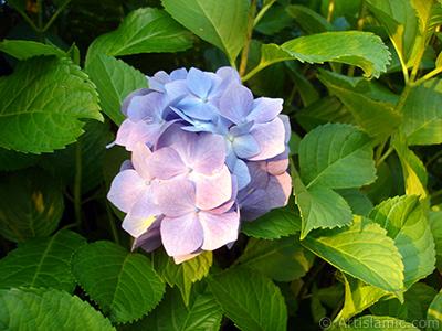 Mavi Ortanca çiçeği resmi. <i>(Ailesi: Hydrangeaceae, Türü: Hydrangea)</i> <br>Çekim Tarihi: Temmuz 2005, Yer: Trabzon, Fotoğraf: islamiSanat.net