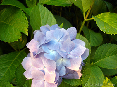 Light blue color Hydrangea -Hortensia- flower. <i>(Family: Hydrangeaceae, Species: Hydrangea)</i> <br>Photo Date: July 2005, Location: Turkey/Trabzon, By: Artislamic.com