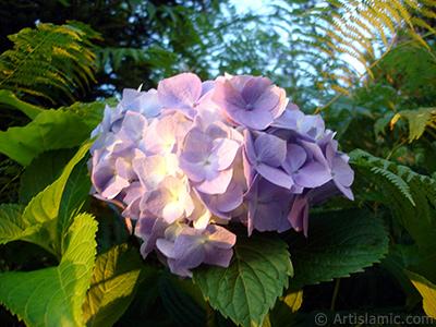 Light blue color Hydrangea -Hortensia- flower. <i>(Family: Hydrangeaceae, Species: Hydrangea)</i> <br>Photo Date: July 2005, Location: Turkey/Trabzon, By: Artislamic.com