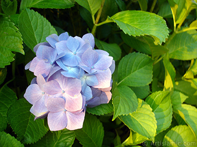Light blue color Hydrangea -Hortensia- flower.