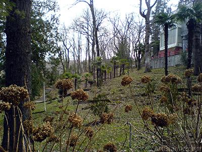 Kışın solmuş Ortanca çiçekleri resmi. <i>(Ailesi: Hydrangeaceae, Türü: Hydrangea)</i> <br>Çekim Tarihi: Şubat 2011, Yer: Yalova-Termal, Fotoğraf: islamiSanat.net