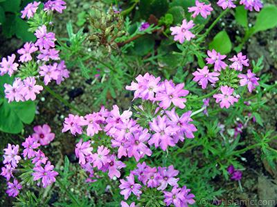 Yer minesi çiçeği resmi. <i>(Ailesi: Verbenaceae, Türü: Verbena)</i> <br>Çekim Tarihi: Haziran 2005, Yer: Trabzon, Fotoğraf: islamiSanat.net