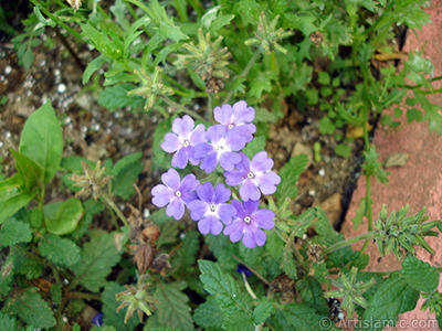 Verbena -Common Vervain- flower.