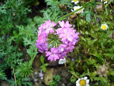 Yer minesi çiçeği resmi. <i>(Ailesi: Verbenaceae, Türü: Verbena)</i> <br>Çekim Tarihi: Temmuz 2005, Yer: Trabzon, Fotoğraf: islamiSanat.net