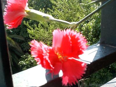 Kırmızı Karanfil çiçeği resmi. <i>(Ailesi: Caryophyllaceae, Türü: Dianthus caryophyllus)</i> <br>Çekim Tarihi: Ocak 2002, Yer: İstanbul-Annemin Çiçekleri, Fotoğraf: islamiSanat.net